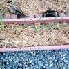 玉ねぎのプランター栽培、遅ればせながらの開始