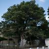 国の天然記念物・白山神社の大欅と詩人