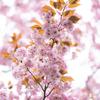 紫がかった桜:サトザクラ・八重紫