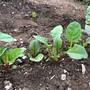 野菜づくり二年生 40 〜スイスチャード収穫