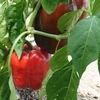 色づいてきたパプリカ、トウガラシ