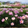 シャクヤクの季節へ:薬用植物指導センター