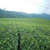 四番茶芽が生育し始めている茶畑