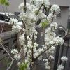 白花花蘇芳と白山吹