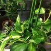 この頃の観葉植物たち