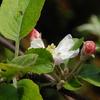 リンゴの花が一輪咲いていた