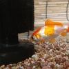 金魚 しっぽにフシギな白い線