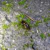 フタホシスジバネゴミムシの交尾