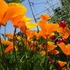 風に揺れる花菱草