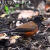 船と原付で行く三宅島【3】サタドー岬・長太郎池・アカコッコ館