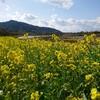 上堰潟公園(新潟市西蒲区松野尾1)の菜の花畑と、桜は・・・。