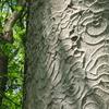 トチノキの樹皮。