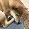 柴犬あきとの生活 101