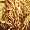 玄米をおいしく健康に食べるなら、炊飯器が大事♬
