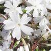 茶臼山高原の芝桜(その3) -「天空の花回廊」茶臼山高原の芝桜の種類と渋滞回避情報ー