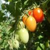 【かんたん】トマトの保存方法 家庭菜園で食べきれないほど採れた時にはこれ!