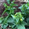 チンゲン菜が家庭菜園の秋蒔き野菜に向いている証拠
