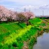 平塚市の渋田川で桜の川を散歩しました。
