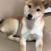 柴犬あきとの生活 97