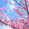 陽光桜・満開(ほぼ笑)