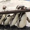 小諸市動物園でやってるペンギンの餌やりが「流しそうめん形式」だった…流しアジというみたい