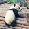 ANA特典航空券でパンダと三国志の聖地成都への旅①