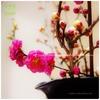 豆春。八重咲き紅白、梅の枝
