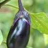 旬なお野菜その保存方法や新鮮なものの見分け方についてシリーズpart3 ナス編