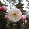 散歩~梅の花が見ごろです