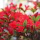 鉢植えの「のときりしまツツジ」咲きだしました(笑)