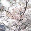 たかばしの桜