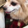 チワワのオーブ・心臓病の話⑥犬の肺水腫と利尿剤のお話