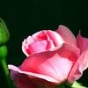 バラの枯れ枝が蘇ったように我々も再生しましょうね!