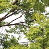 季節外れのコサメビタキ(大阪城野鳥探鳥 2016/07/10 4:40-10:45)