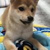 柴犬あきとの生活 19