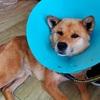 手術をした保護犬キングの翌日の様子