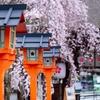 京都・北野 - 魁桜咲く。平野神社