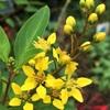 キントラノオの花