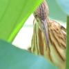 速報! 伊佐沼の野鳥 ヨシゴイ・コアジサシ他 2021年7月23日