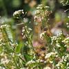 春の草花ーナズナ
