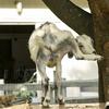 【一日一枚写真】木の皮を調べる山羊【一眼レフ】