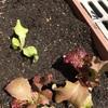 ブロッコリー定植など