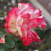 金沢南総合運動公園の秋薔薇