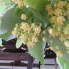 西大寺の菩提樹(6月上旬)