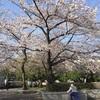 桜満開!花見をするなら今日しかない♬