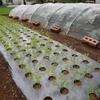 秋野菜が順調に育っています (^o^)