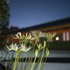 法住寺さま門前で夜の彼岸花を愛でる@2021