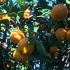 みかんとオレンジは違うって言われた事あるけど、英語ではどう分けるのか。