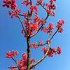 寒緋桜と蔓日日草