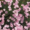 いろいろ咲いてます「撫子」
